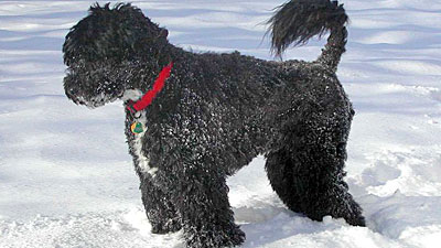 http://hendoone.files.wordpress.com/2009/02/portuguese-water-dog.jpg