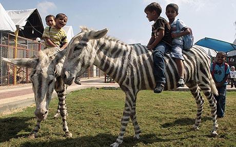 Gaza_zebra