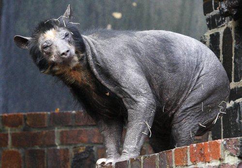 bald bear 1