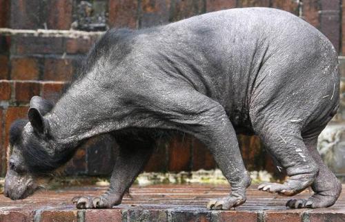 bald bear 2